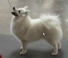 Photo by charmingnancy Miniature American Eskimo, American Eskimo Puppy, Beautiful Dogs, Animals Beautiful, Cute Animals, Pomeranian Breed, Japanese Spitz, Dog Rules, Sleeping Dogs
