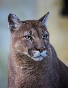 Cougar (Puma concolor)byJean-Claude Sch.