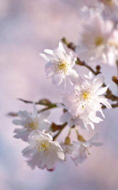 Die  Winter-Kirsche (Prunus subhirtella 'Autumnalis') öffnet die ersten Blüten bei milder Witterung schon im November/Dezember, die Hauptblüte findet im März statt. Die bis fünf Meter hohe Pflanze wächst relativ langsam und wird als Strauch oder kleiner Baum angeboten. Es gibt mit der Sorte 'Autumnalis Rosea' auch eine rosa blühende Variante.