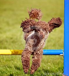 An active Chocolate Poodle dog jumping a hurdle having agility training