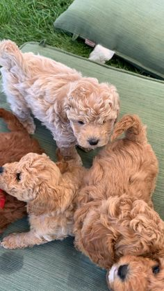 Super Cute Puppies, Cute Baby Dogs, Cute Little Puppies, Cute Dogs And Puppies, Cute Little Animals, Cute Funny Animals, Doggies, Adorable Puppies, Chien Goldendoodle