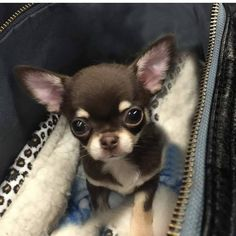 Effective Potty Training Chihuahua Consistency Is Key Ideas. Brilliant Potty Training Chihuahua Consistency Is Key Ideas. Teacup Chihuahua Puppies, Cute Baby Puppies, Chihuahua Love, Baby Dogs, Cute Dogs, Dogs And Puppies, Doggies, Long Coat Chihuahua, Black Chihuahua