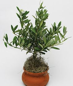 Hardy, living Olive Tree topiary in Decorative Pot from burpee.com