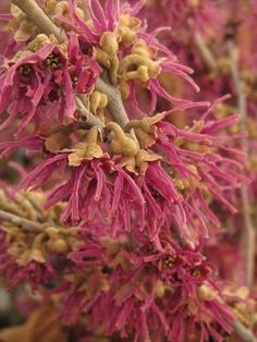Hamamelis vernalis 'Amethyst'  Witchhazel - Vernal Witchhazel has fragrant lavender-purple flowers appearing in late winter and early spring, followed by coppery new growth. Good orange and yellow fall color. Hamamelis vernalis 'Amethyst' is also salt and wet site tolerant.