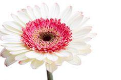Beautiful white gerber flower Stock Photo
