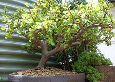 Portulacaria afra bonsai - width 80cm, height 50cm Jade Bonsai, Succulent Bonsai, Bonsai Garden, Succulents, Jade Tree, Plantas Bonsai, Bonsai Styles, Jade Plants, Unusual Plants