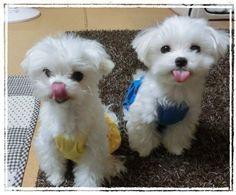 Teacup Maltese, Maltese Dogs, Teacup Puppies, Miniature Maltese, Teacup Maltipoo, Baby Puppies, Cute Puppies, Pet Dogs, Doggies