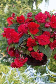 5 Bégonias parfumés 'Red Glory'