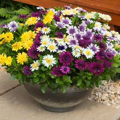 OSTEOSPERMUM - AFRICAN OR CAPE DAISY.  It likes heat and full sun. It needs well drained soil and, in fact, will tolerate dryer soils.  Like all annuals it likes fertilizer.