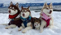 Rosie the rescue kitty was saved bya husky who changed her life forever! Now the kitty thinks she's part husky…