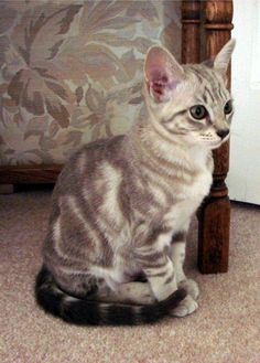 Snow Bengal mixed with Lynx Point Siamese=