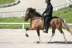Hnota frá Efri-Þverá - Icelandic horse