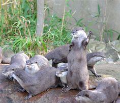 Harri, an otter at the London Zoo, loves to play the air guitar. Who doesn't!?