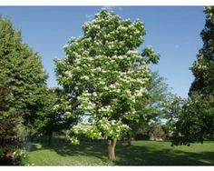 48 best colorado gardening deer and weather resistant images on 50ft a hardy interesting shade tree with large light green leaves and big mightylinksfo