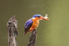 Malacite Kingfisher by Peet van Schalkwyk www.500px.com