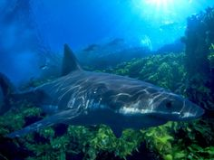 Great White in New Zealand    Photograph by David Fleetham/Alamy
