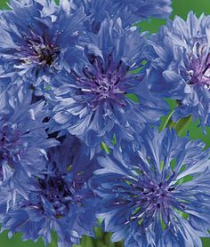 Cornflower, Blue Boy   lifecycle: Annual  Uses: Borders, Cut Flowers  Sun: Full Sun  Height: 30  inches Spread: 10-12  inches Sowing Method: Direct Sow  Bloom Duration: 8  weeks