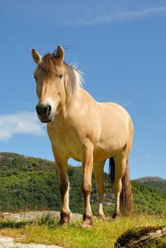 One of my favorite horseback riding experiences was riding this Fjord mare from Øvre Eide Farm in Bergen, Norway.