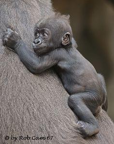 Gorilla Xetsa | by Rob Cam 67 Cute Baby Monkey, Cute Baby Animals, Animals And Pets, Funny Animals, Baby Gorillas, Orangutans, Gorilla Tattoo, Mountain Gorilla, Animal Kingdom