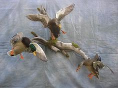 Showpiece Taxidermy: Wood Duck, Mallard, and Pintail Mounts Taxidermy Decor, Taxidermy Display, Bird Taxidermy, House Furniture Design, Chair Design, Design Design, Modern Furniture, Wood Duck Mounts, Duck Hunting Decor