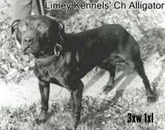 28 Best Limey's Kennels,Game dogs,Apbt,Pitbulls,American Pit