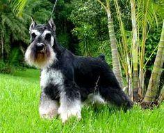 El Schnauzer miniatura (en alemán: Zwergschnauzer) es una derivación del perro schnauzer estándar, surgido en Alemania en la segunda mitad del siglo XIX. Esta raza es, probablemente, resultado de la cruza de un Schnauzer estándar con alguna de las razas más pequeñas, tal como los caniches, los pinscher miniatura ó los affenpinscher.