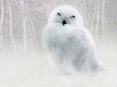 This is a photo of a baby snowy owl that I took and painted in Pixarra