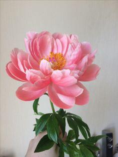 My Flower, Flower Art, Pink Flowers, Paper Flowers, Beautiful Flowers, Pink Peonies, Peony Painting, Floral Bouquets, Flower Photos