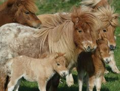 A small herd of Shetland Ponies.  How cute is that?!!