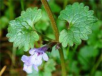Popenec: léčivá a chutná aromatická bylinka z luk i zahrad