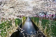 The Meguro canal, framed by cherry blossoms. (Getty Images)