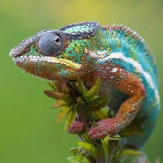 Baby Panther Chameleon | Reptiles | Pinterest | Babies, Panthers ...