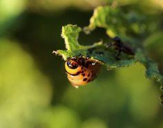 Natural Home Pesticides: Organic Garden Pest Control