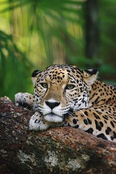 Jaguar - The largest cat in SW USA, Mexico & S.A.. This animal has an exceptionally powerful bite and kills its prey with one crushing bite to the skull.