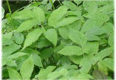 Kräuter-Steckbrief Giersch (Aegopodium podagraria) - Eigenschaften und Verwendung