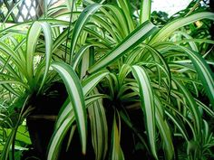 Learn exactly how to care for the spider plant or chlorophytum comosum, one of the easiest and most forgiving houseplants to grow. Cool Plants, Potted Plants, Indoor Plants, Harmful Plants, Trees To Plant, Plant Leaves, Airplane Plant, Organic Weed Control, Chlorophytum