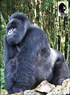 Embedded image permalink Big Gorilla, Big Animals, Animals And Pets, Funny Animals, Primates, Mammals, Reptiles, Silverback Gorilla, Animal Kingdom