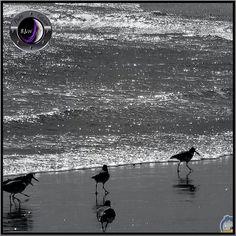 today 2014/11/22 @photo_colection_bw presented me and featured this pic as «FOTO DEL DÍA» saying ❝Felicidades para nuestro amigo ● Photo cucodevenegas❞ tagged to #photo_colection_bw «Shiny and tiny... | Aves correteando entre el brillo del mar...» #wenrolling