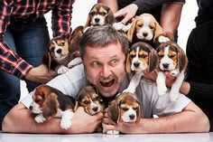 Man And Big Group Of A Beagles