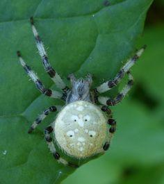 http://faaxaal.forumgratuit.ca/t3711-photo-d-araneide-araneus-trifolium-shamrock-orbweaver-pumpkin-spider-shamrock-spider