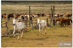 Herd of horses being rounded up to the corral. Stock photo available at http://www.shutterstock.com/pic.mhtml?id=414945130 photo by ©GEvans
