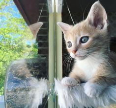 It's Macaroni's adoption day! She's looking out the window waiting patiently for her new friend @gypsytea1767 to arrive.  I love this sweet lil wide eyed girl. Please apply at http://ift.tt/2777Z0Q if you want to fall in love with a DC kitten! #macaroninoodle by kittenxlady