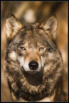 Wolf Portrait by Karel F., via Flickr