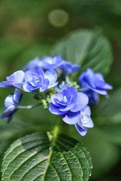 Little Blue Hydrangeas