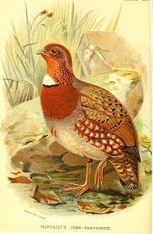 Chestnut-breasted partridge - Wikipedia, the free encyclopedia