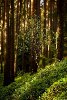 forest - a new tree coming up to grow in the little sun that is aailable in the forest.  Life always goes on