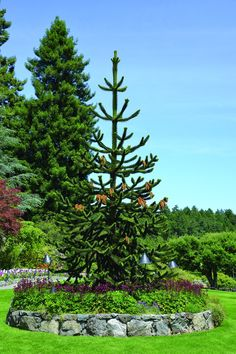 The Butchart Gardens – Victoria, Canada – The Plants Monkey Puzzle Tree, Butches, Botany, Garden Inspiration, Greenery, Period Hacks, Bloom, Yard, Aesthetic Makeup