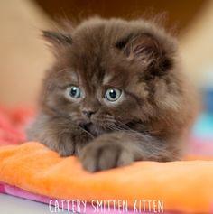 British Longhair Kitten | Cattery Smitten Kitten | The Netherlands | www.kittentekoop.nl
