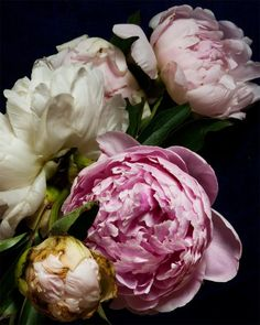 Peonies by Kari Herer via Designer Color Sensation.