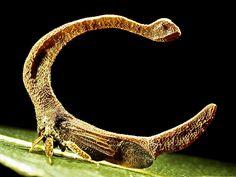 Membracídeos: conheça melhor essa família bizarra de insetos - Mega Curioso